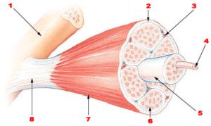 Schéma de l'insertion d'un tendon